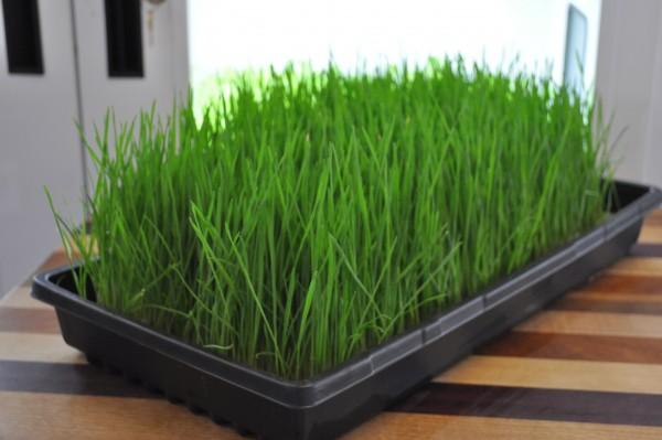 faire-pousser-herbe-de-blé